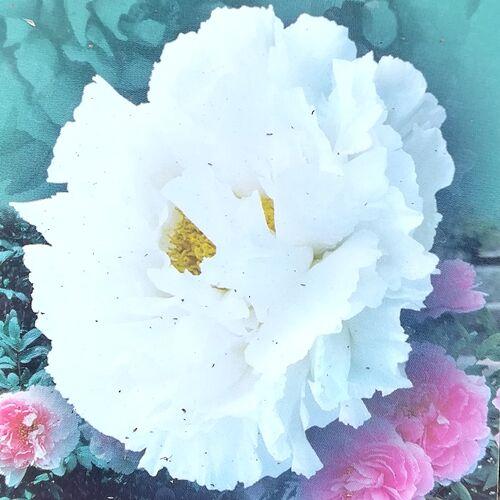 Bazsarózsa fásszárú 1 lit. fehér, telt virágú