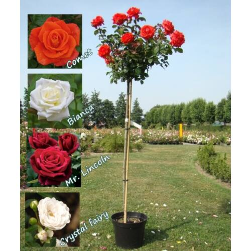Magastörzsű teahibrid rózsa, 120-140 cm