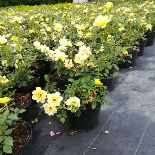 Rózsa talajtakaró 1,5 literes, sárga