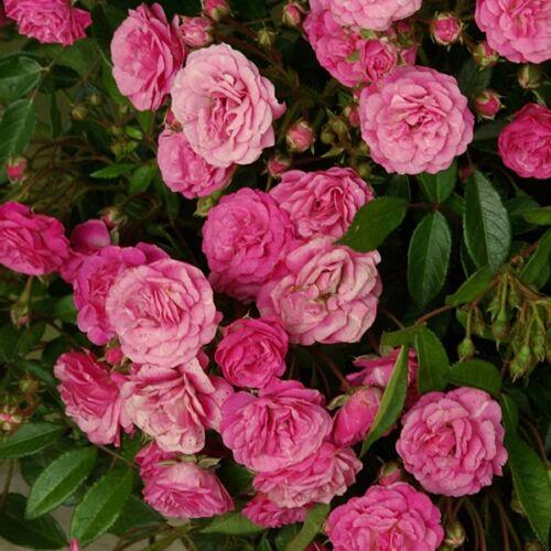 Rózsa talajtakaró 1,5 literes, pink