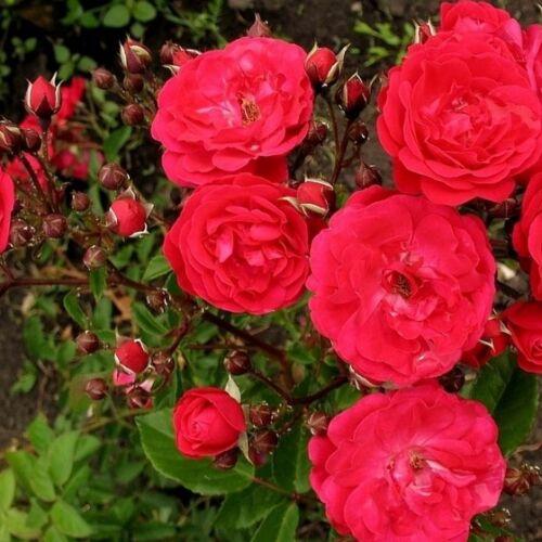 Rózsa talajtakaró 1,5 literes, piros