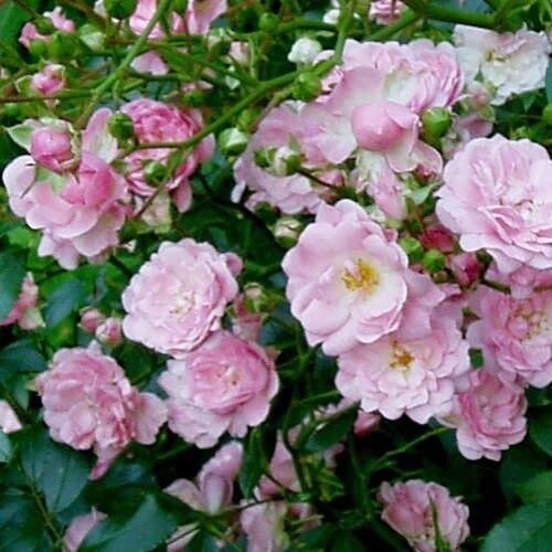 Rózsa talajtakaró 1,5 literes, rózsaszín