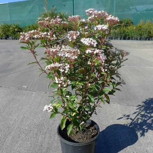 Téli Bangita, Viburnum tinus 80 cm