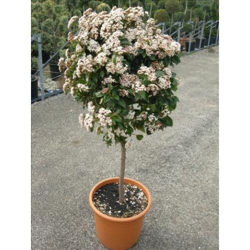 Téli Bangita, Viburnum tinus 90 cm fa