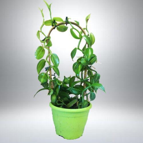 Vanília növény 40 cm