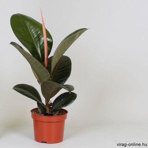 Fikusz robusta 30-40 cm, 12cs- cserépben