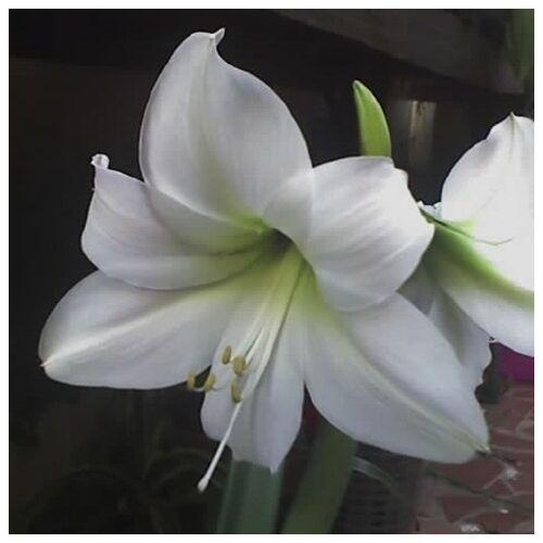 Amarillisz, Hölgyliliom 14cm-s cserépben fehér
