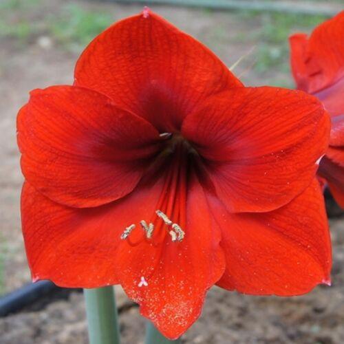 Amarillisz, Hölgyliliom 14cm-s cserépben piros