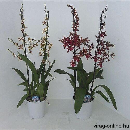Cambria orchidea 60-70 cm