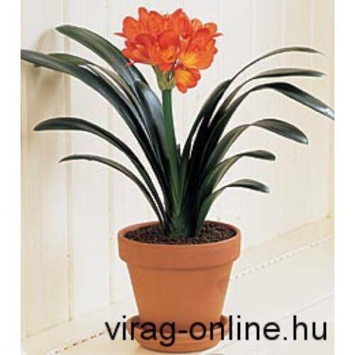Kafferliliom, Clivia 50cm, 14cm-s cserépben