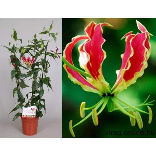 Koronásliliom, Gloriosa 80 cm