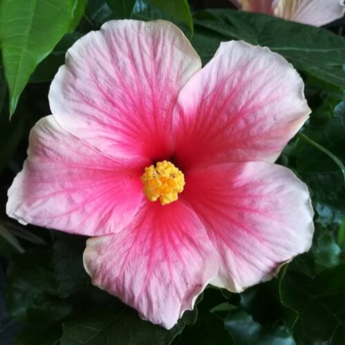 Hibiscus 13 cm-s cserépben, rózsaszín