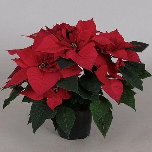 Mikulásvirág 50-60 cm, piros