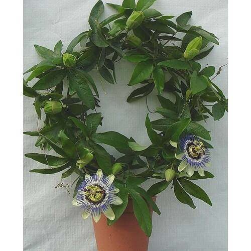 Golgotavirág, Passiflora