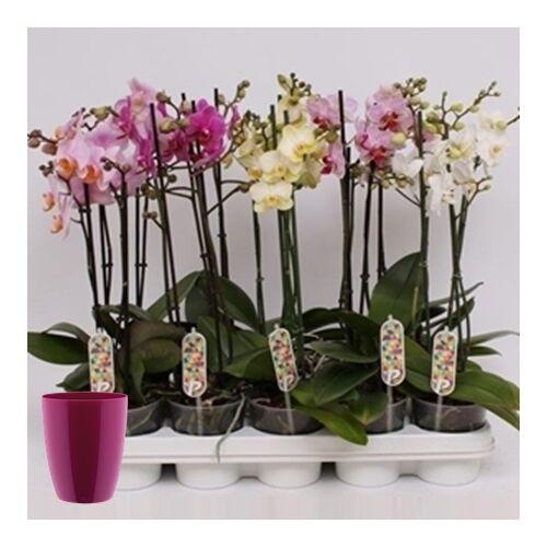 Lepke Orchidea multiflóra + kaspó