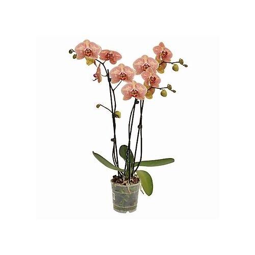 Lepke Orchidea EXTRA 70cm 3 virágszálas