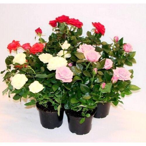 Rózsa 11 cm-s cserépben