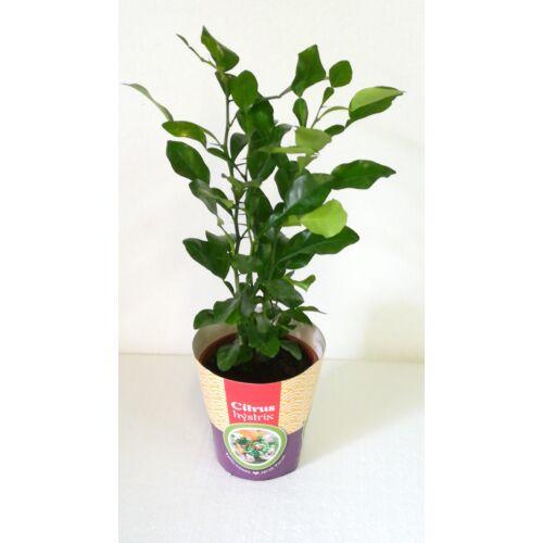 Kaffir Lime 12 cm-s cserében