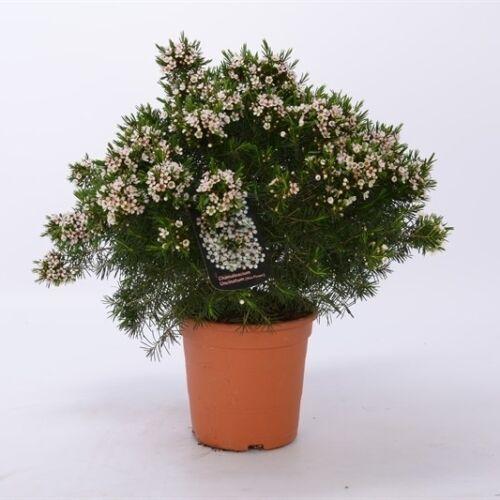 Waxflower 14 cm-s cserépben