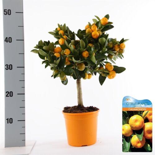 panamai narancs fa 50-70 cm