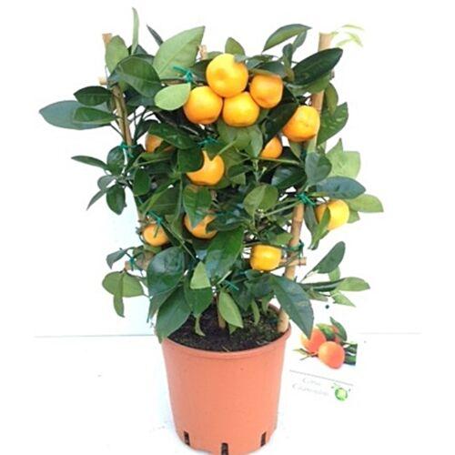 panamai narancs kereten 40 cm
