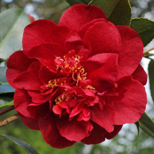 Japán Kamélia, Camelia 24 cm-s cserépben piros