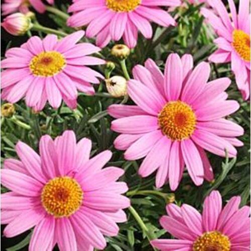 Margaréta bokor 18 cm-s cserépben rózsaszín, 50 cm