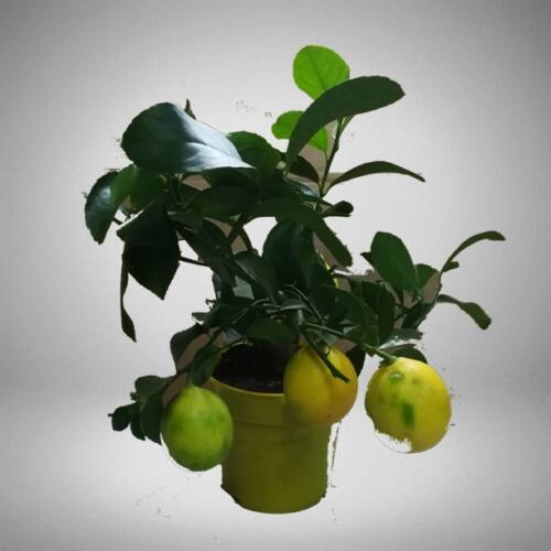 Citrom bokor terméssel, 18cm-s cserépben