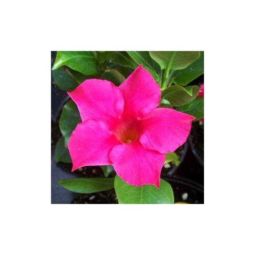 Tölcsérjázmin 14 cm-s cserépben, rózsaszín