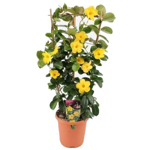 Tölcsérjázmin 50-60 cm, sárga
