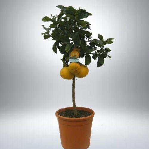 Grépfrút, Grapefruit fa terméssel