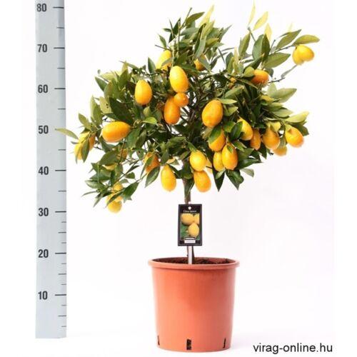 Kumquat, Koktélnarancs fa terméssel 60 cm