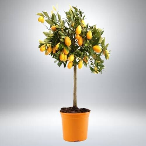 Kumquat, Koktélnarancs fa terméssel 100 cm