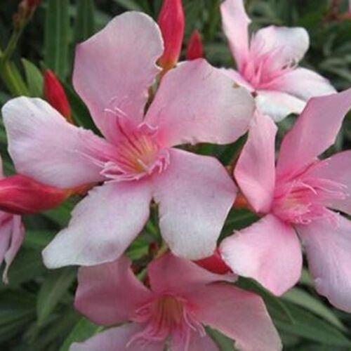 Leander 14 cm cser. 40-50cm rózsaszín