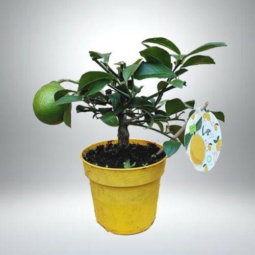 Lime fa 14 cm-s cserépben