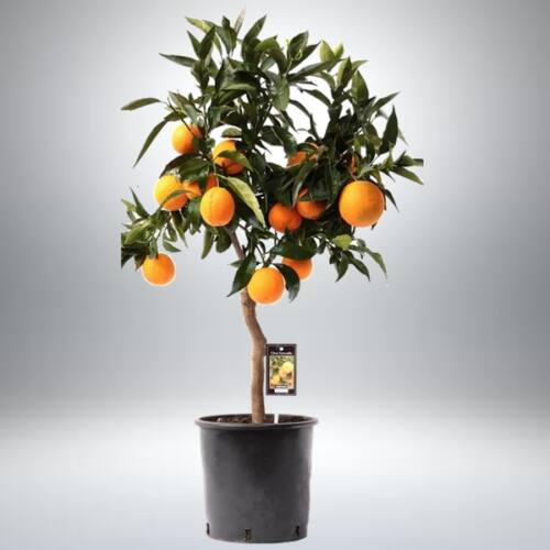 Narancs fa 70 cm