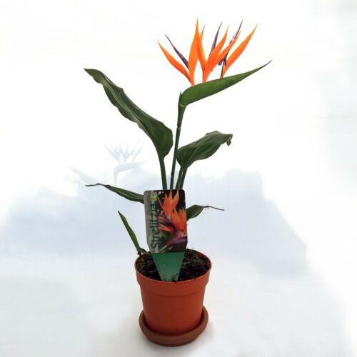 Papagájvirág + ajándék művirág 13 cm-es cser.