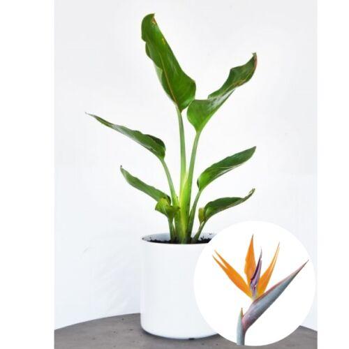 Papagájvirágv 13 cm-es cserépben