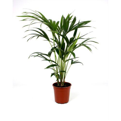 Kentia pálma 100-120 cm