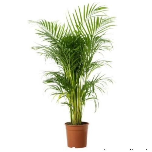 Bétel pálma 130-150 cm