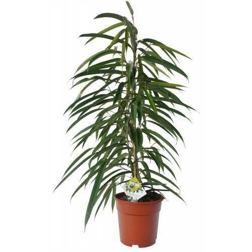 ficus longifolia 70 cm