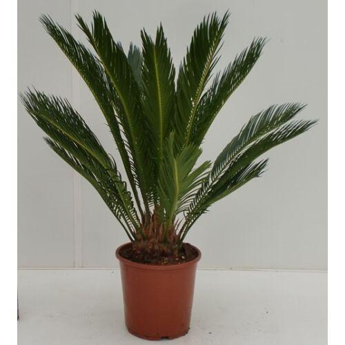 Cikász pálma 40-50cm, 14 cm cserépben