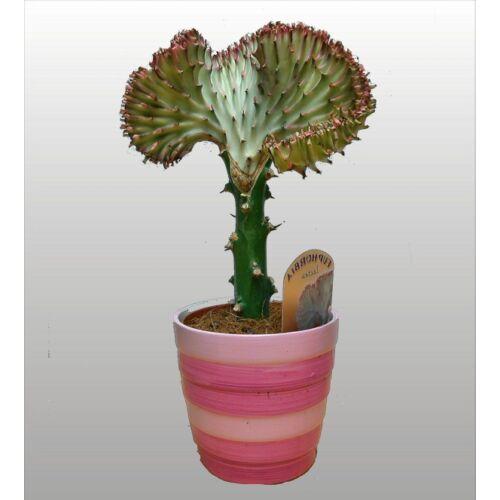 Sövénykutyatej + kaspó 30cm
