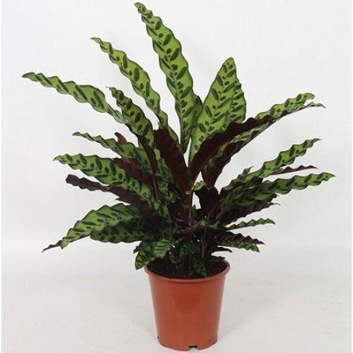 Nyílgyökér, Calathea lancifolia  40 cm 13 cm-s cserépben