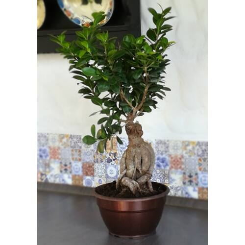 Ficus BONSAI 50-60 cm