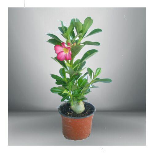 Sivatagi Rózsa 13 cm cserépben