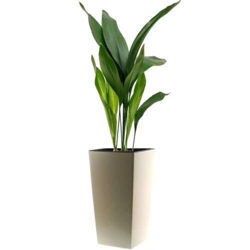 Kukoricalevél + kaspó 100 cm