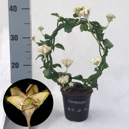 Ernyős gyertyavirág 30 cm