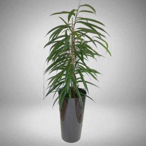 ficus longifolia + kaspó 90 cm