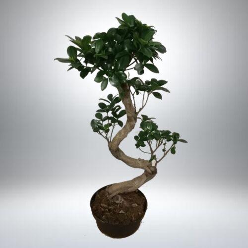 "Ficus BONSAI ""S"" forma 70 cm"